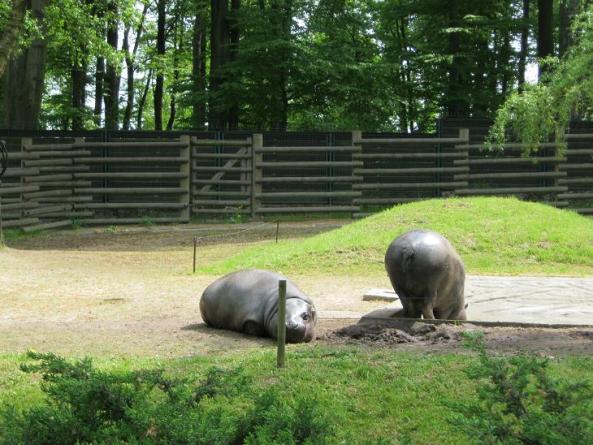Hipopotamy karłowate wylegują się na swoim wybiegu