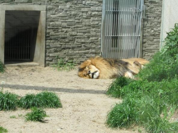 Wylegujący się lew