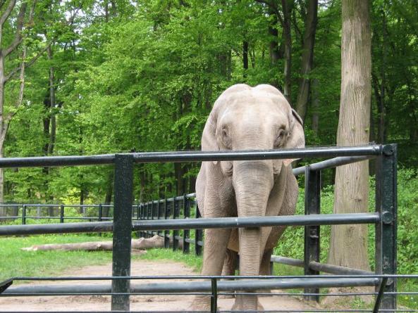Słoń indyjski w krakowskim zoo