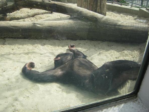 Spotkamy tam też szalejące szympansy