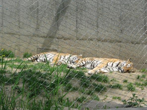 Tygrysy wylegują się w słońcu