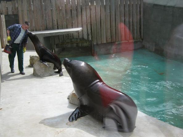 Uchatki patagońskie podczas treningu
