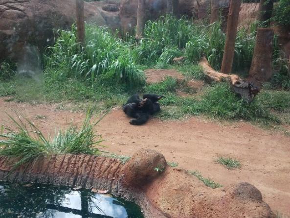 Szympans w Honolulu Zoo