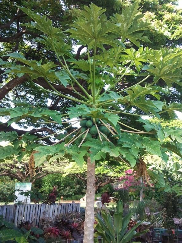 I więcej hawajskich roślin