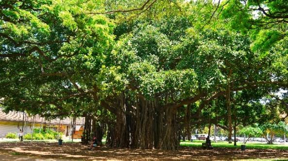 ...i takie drzewa witają nas w Honolulu Zoo