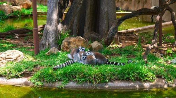 Lemury na swoim wybiegu