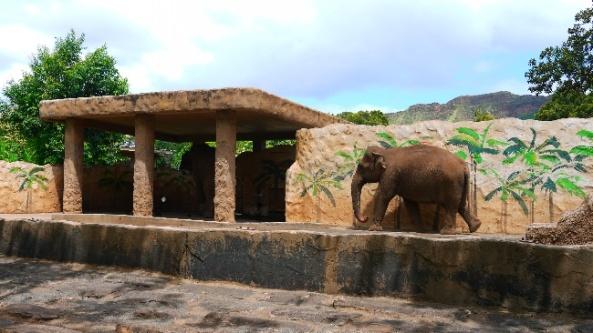 Słoń indyjski na wybiegu