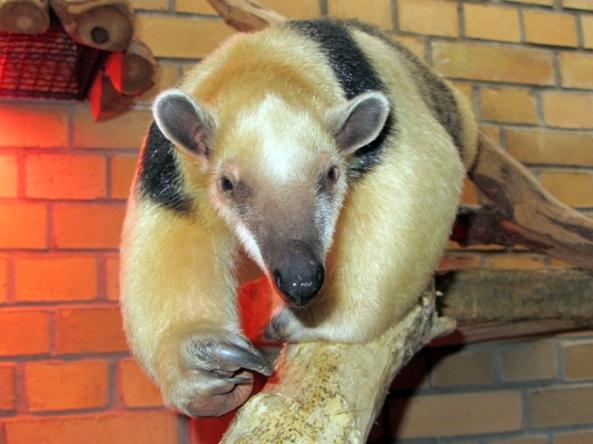 Dora doczekała się partnera, tym samym w Opolu są już trzy tamanduy (fot. Zoo Opole)
