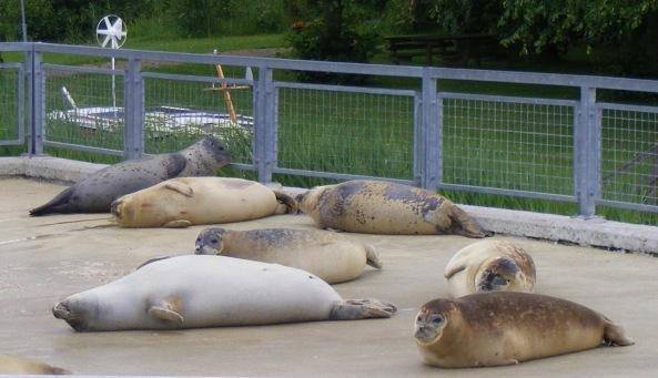 Foki pospolite odpoczywające przy dużym basenie