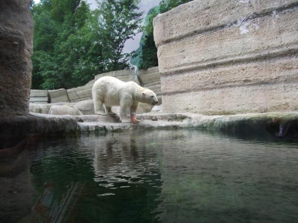 Niedźwiedź polarny z monachijskiego zoo