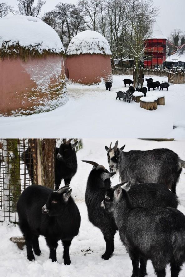 Kozy karłowate przy sowich niewielkich chatkach
