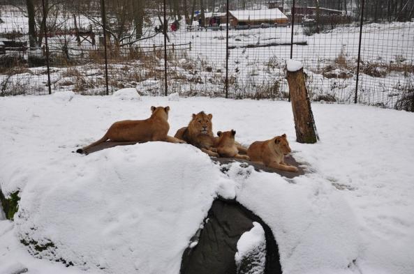 Tego dnia lwy spędzały czas na zewnętrznej części wybiegu