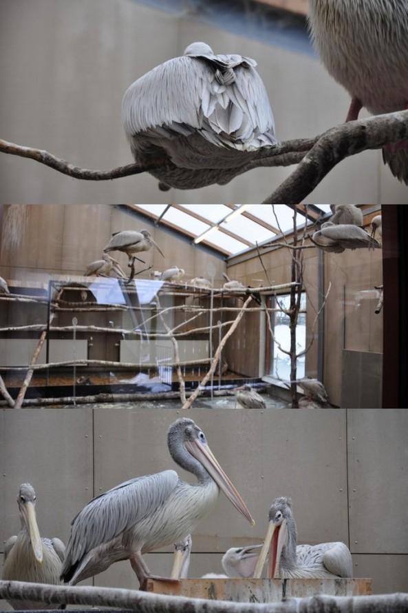 Pelikany. Na dolnym zdjęciu widać młode wyklute tej jesieni