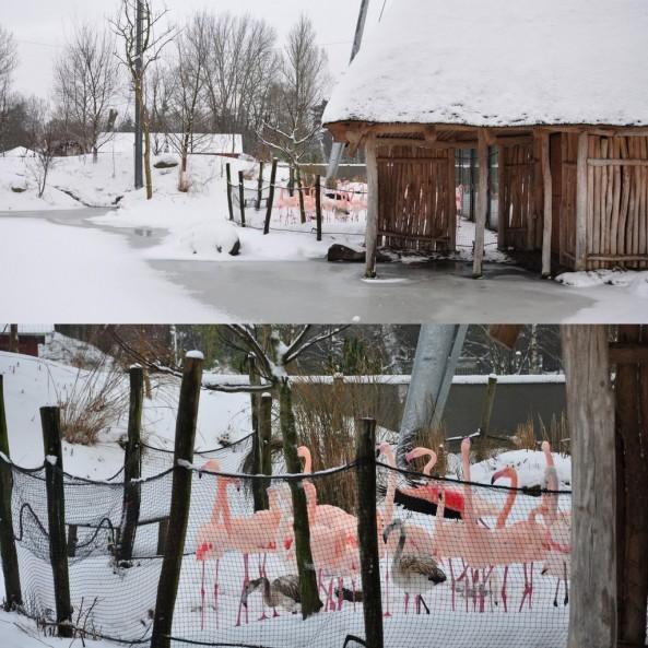 Niezważające na mróz flamingi