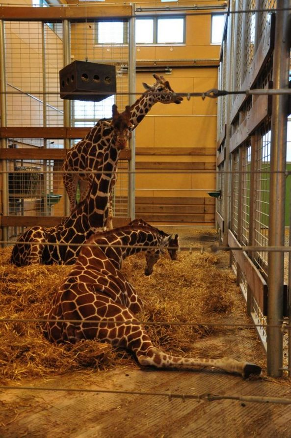 A tu, na pierwszym planie, już około roczna żyrafa (2013)