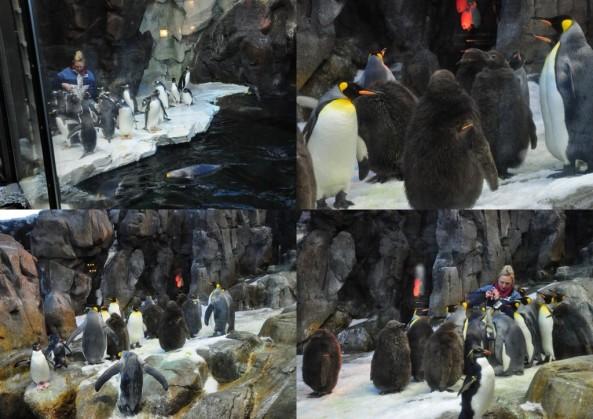 Pora karmienia pingwinów