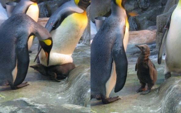 Zdjęcie małego pingwina z listopada 2012 roku