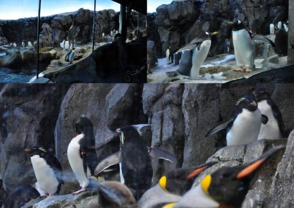 U góry pingwiny białobrewe