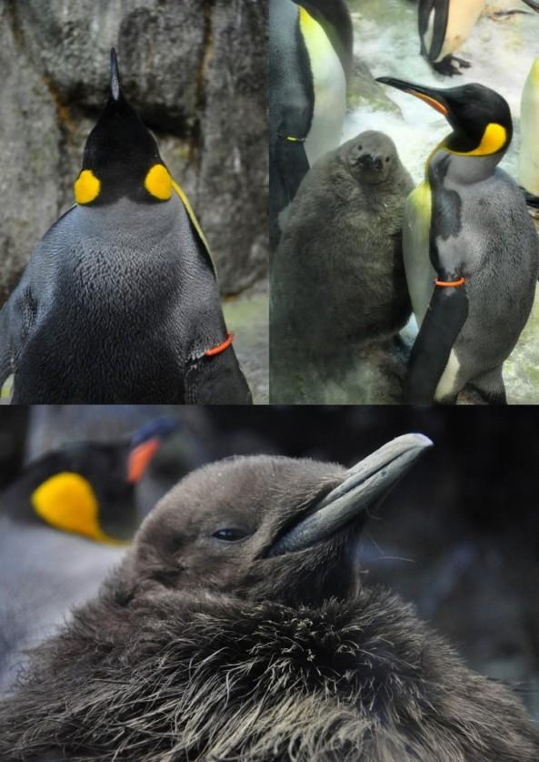 Młode pingwiny królewskie
