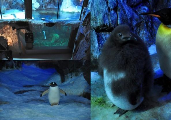 U góry basen dla pingwinów, po prawej zdjęcie już zmieniającego opierzenie malucha (styczeń 2013)