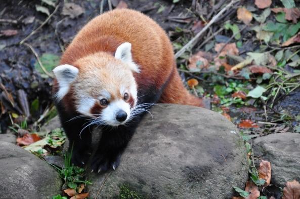 Panda czerwona w jesiennym wydaniu dla porównania :)