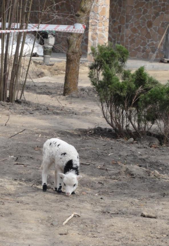 Forum społeczne - junior owcy czterorogiej na samodzielnej eskapadzie