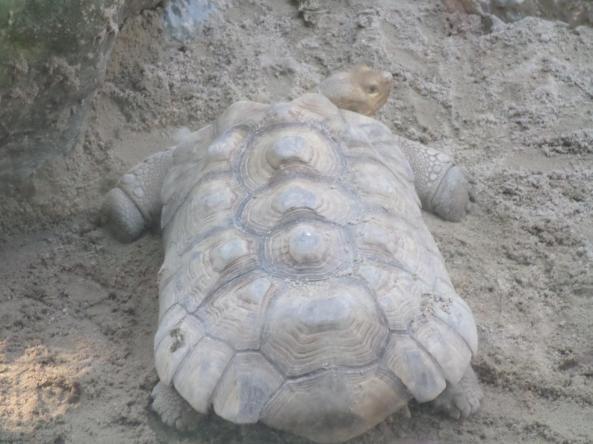 Żółw pustynny