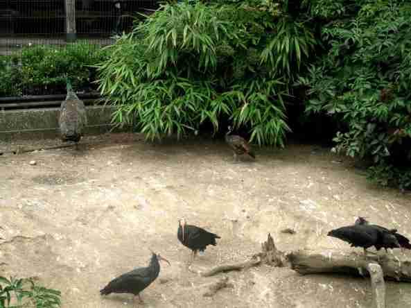 mieszkańcy Snowdon Aviary (3)