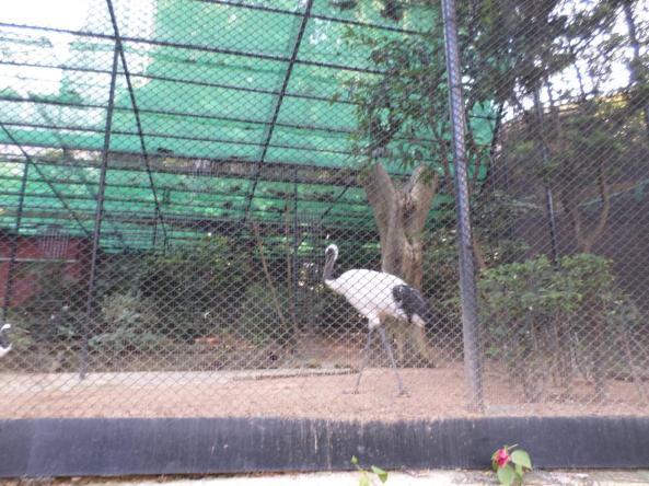 Wędrujący żuraw