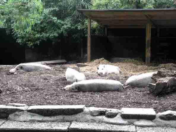 Wybieg świń brodatych