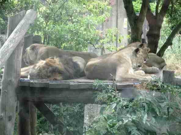 Zoo Londyn, sierpień 2013 401