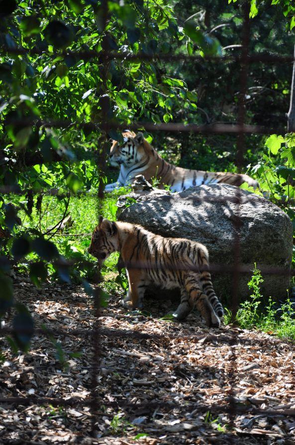 5 tygrys