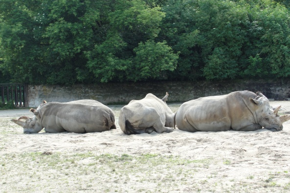Nosorożce białe- południowe (dwa po prawej) i północny (samica po lewej)