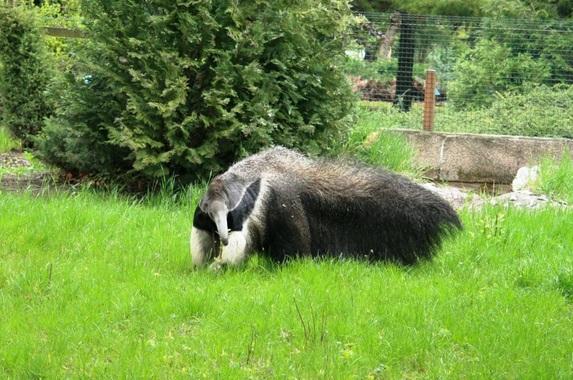 Bella na swoim nowym wybiegu (fot. Zoo Jaszbereny)
