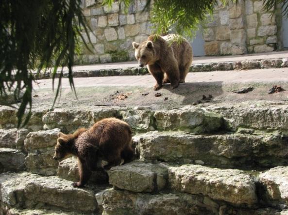 Niedźwiedzie brunatne