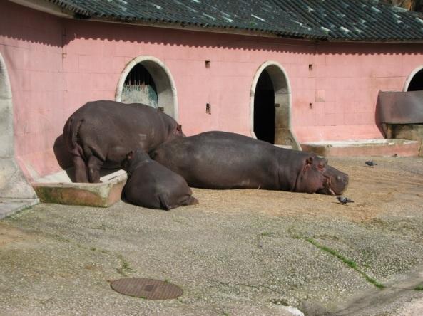 Hipopotamy nilowe