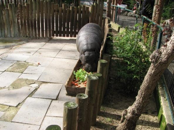 Szwedzki stół hipopotama karłowatego