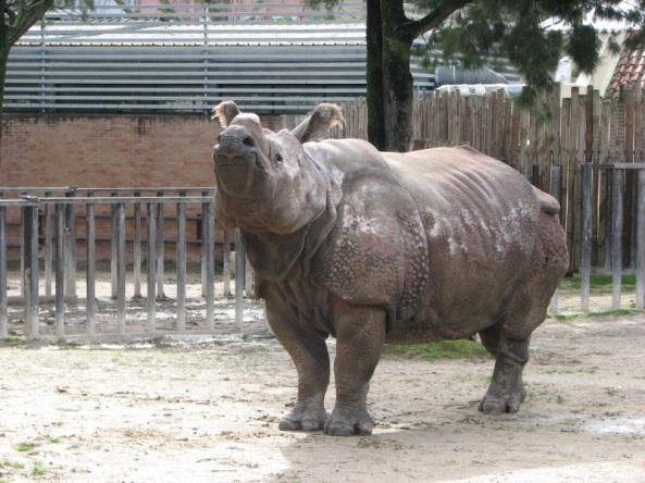 Nosorożec indyjski – najlepszy model w zoo