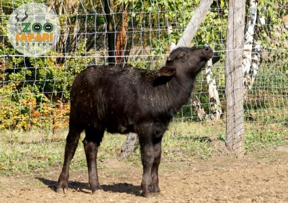 Bawole ciele z Borysewa. Fot.: Zoo Borysew